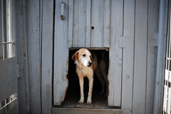 Dog in the doghouse. Dog of black-and-white color behind a fencing lattice Stock Image