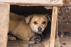 Dog in doghouse. Looking at the camera Stock Images