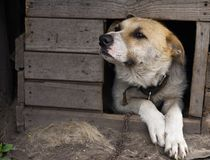 Dog in doghouse. Dog looks out from a wooden dog kennel Royalty Free Stock Photography