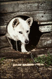 Dog in the doghouse. Mixed breed dog in the doghouse Royalty Free Stock Photo