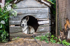 Dog in the doghouse. Mixed breed dog in the doghouse close the country building Stock Photos
