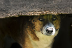 Dog in the Doghouse. Dog sitting in the doghouse and watching Stock Image