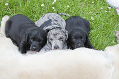 Dog,dogs,puppies Royalty Free Stock Photos