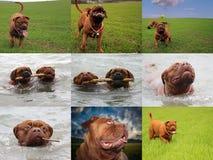 大Dog Dogue de Bordeaux 免版税图库摄影