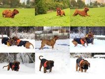 大Dog Dogue de Bordeaux 库存图片