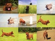 大Dog Dogue de Bordeaux 免版税库存图片