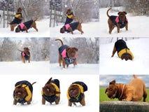 大Dog Dogue de Bordeaux 免版税库存照片