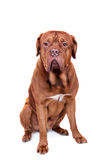 Dog of Dogue De Bordeaux isolated on white Stock Photography