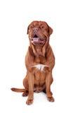 Dog of Dogue De Bordeaux isolated on white Royalty Free Stock Image