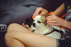 Dog doing ear massage stock photo