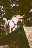 Dog doing exercises on a balance beam. Agility Training for Jack Russell Terrier Royalty Free Stock Photography