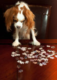 Dog Doing Puzzle. Cavalier King Charles Spaniel Puppy looking intently at a puzzle on a table as she tries to put the pieces together royalty free stock images