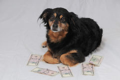 Dog and Dollars Royalty Free Stock Photo