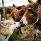 Dog and donkey. Bjorn and his fluffy neighbours show some love and kindness to each other Royalty Free Stock Photography
