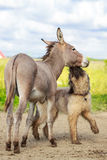 Dog and Donkey Royalty Free Stock Photos