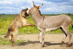 Dog and Donkey Stock Photography