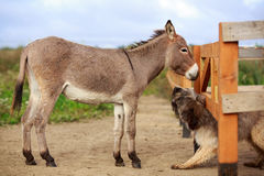 Dog and Donkey Royalty Free Stock Photography
