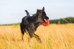 Dog with a donut toy in the snout Stock Image