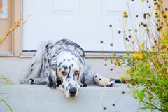 Dog by the door Stock Photos