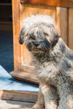 Dog on the doorstep Royalty Free Stock Photography