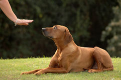Dog down. A white hand of a caucasian woman showing her obedient Rhodesian Ridgeback hound dog with cute expression in the face the sign without words for DOWN Stock Image