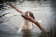 Dog dragging a big branch out of the water. A wet dog is dragging a big branch out of the water of a lake Stock Image