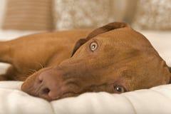 Dog dreaming Stock Photos