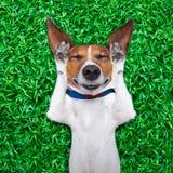Dog dreaming Stock Image