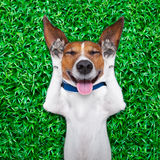 Dog dreaming. Dog lying on grass with silly crazy dumb expression on face sticking out tongue and laughing out loud Stock Image