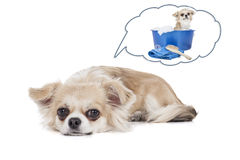 Dog dreams of bathing Stock Photography