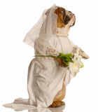 Dog dressed as bride Stock Images