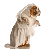 Dog dressed as a bride Royalty Free Stock Images