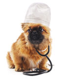 Dog dressed as a doctor. Stock Images