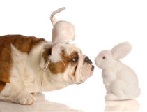 Dog dressed as easter bunny Royalty Free Stock Images