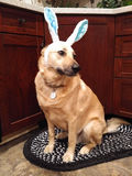 Dog dressed as easter bunny. Dog with rabbit ears on for easter Stock Images
