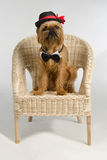 Dog dressed as a groom on armchair Royalty Free Stock Photography