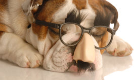 Dog dressed as groucho marx Stock Photography
