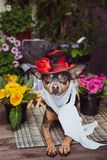 A dog dressed as a luxurious diva, wearing a hat and scarf surrounded by flowers,. The theme of spring and summer stock photos