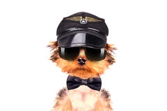Dog  dressed as pilot. On a white background Royalty Free Stock Image