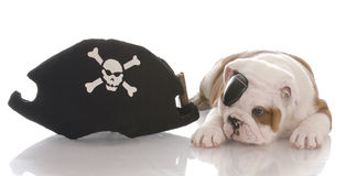 Dog dressed as a pirate Stock Image