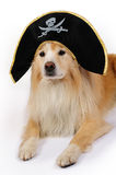 Dog dressed as a pirate Stock Photos