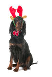 Dog dressed as reindeer for Christmas Stock Images