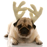 Dog dressed as rudolph Stock Photo