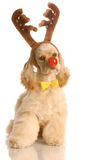 Dog dressed as rudolph Royalty Free Stock Image