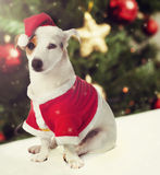 Dog dressed as Santa Claus in Christmas theme Stock Photography