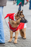 Dog dressed as Santa Claus Royalty Free Stock Images