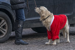 Dog dressed as Santa Claus. Woman with dog dressed as Santa Claus stock images