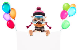 Dog  dressed as skier with banner Royalty Free Stock Images