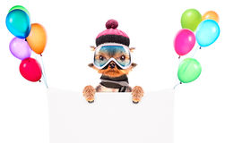 Dog  dressed as skier with banner Royalty Free Stock Image