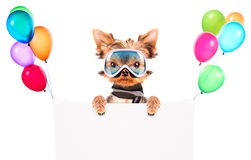 Dog  dressed as skier with banner Stock Image